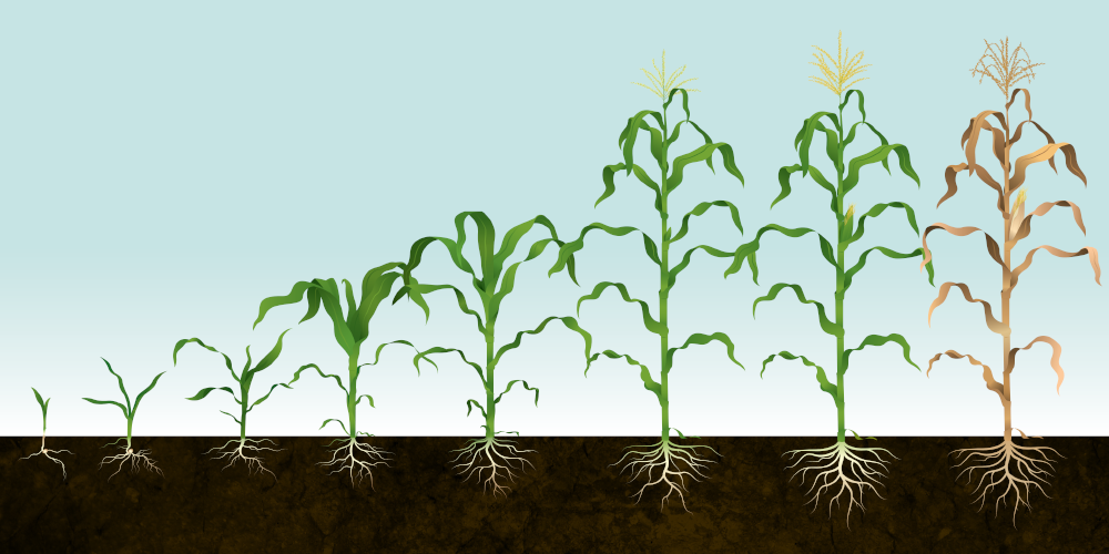 406.94112_Syngenta_Corn_GrowthStages_Illustration_group