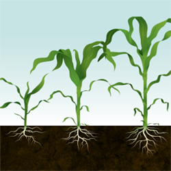 Corn Crop Illustration for Syngenta